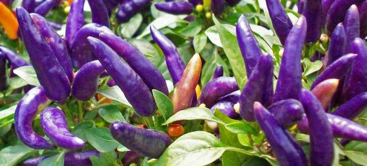 http://australianseed.com/shop/item/chilli-purple-prince