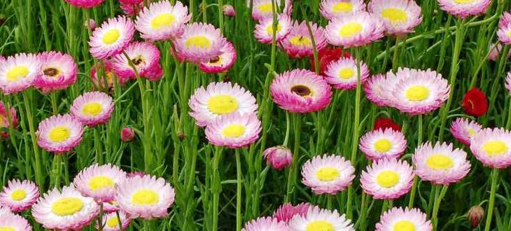 http://australianseed.com/shop/item/rhodanthe-chlorocephala--02-copy