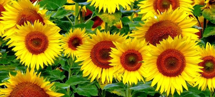 http://australianseed.com/shop/item/sunflower-radiance