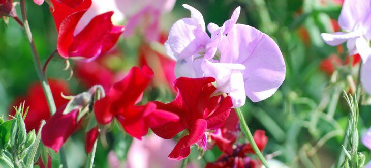 http://australianseed.com/shop/item/sweet-pea-bijou-mix