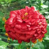 Australian Seed Zinnia