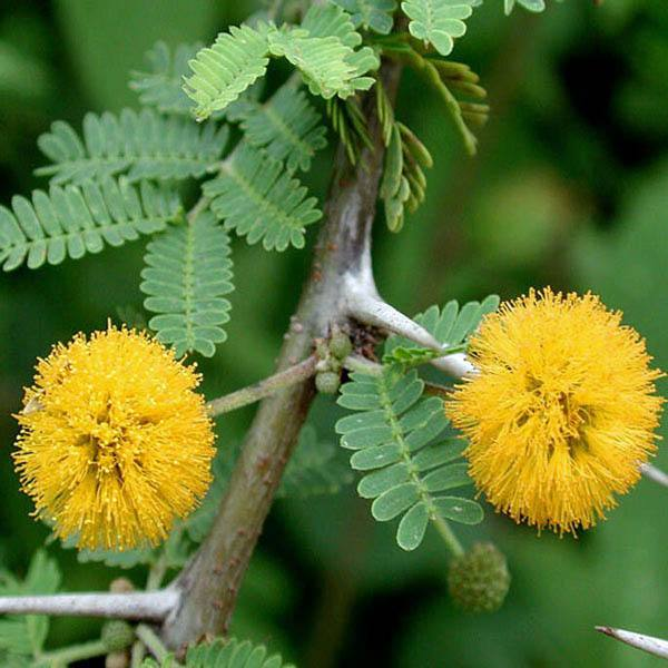 The most characteristic representative of the flora of Australia is the golden acacia, or mimosa