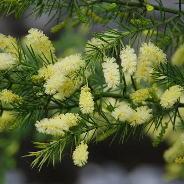Acacia Verticillata Acacia Wattle Australian Seed