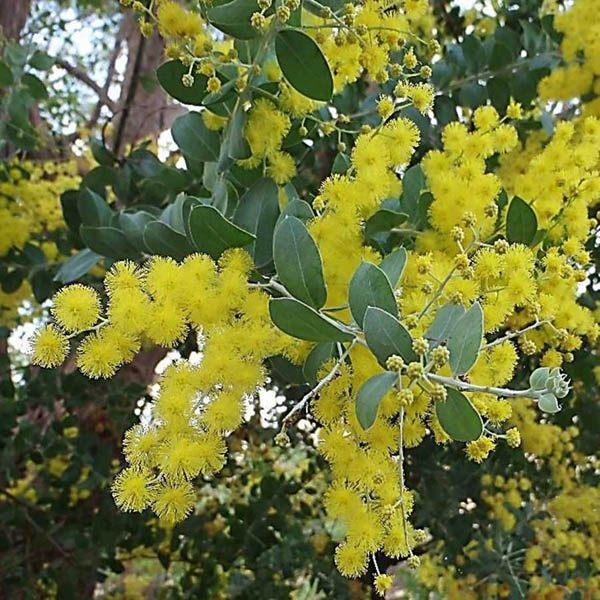Australian Seed Acacia Podalyriifolia