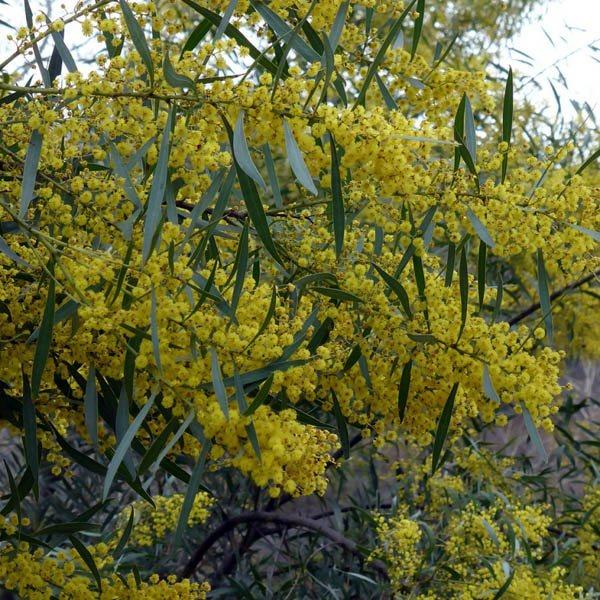 Buy Acacia Acinacea Seed Australian Seed