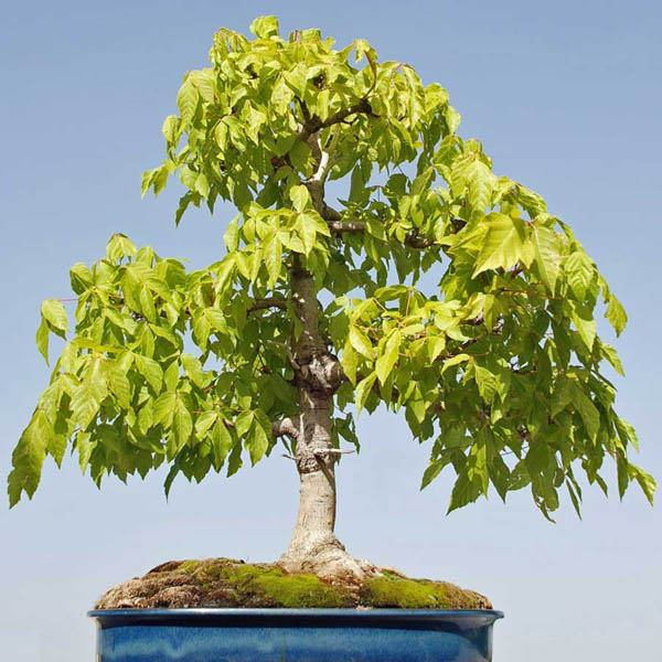 Acer Negundo Bonsai Australian Seed