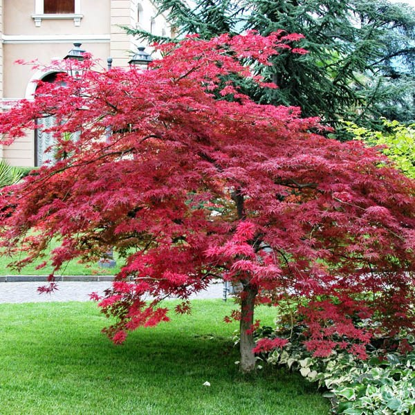 Top 5 Tips For Planting Trees In Your Garden also How To Grow together with Acer Palmatum Atropurpureum as well Watch together with Growing Spinach. on growing carrots in containers