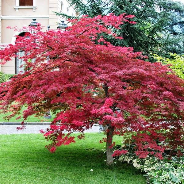 Australian Seed Acer Palmatum Atropurpureum