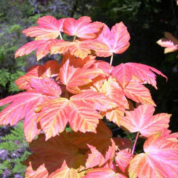 Acer Pseudoplatanus Acer Australian Seed