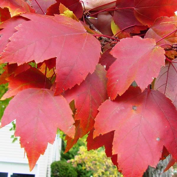 Acer Rubrum Acer Australian Seed