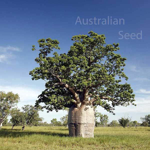 Australian Seed Adansonia Gregorii