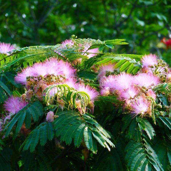 Australian Seed   ALBIZIA julibrissin rosea