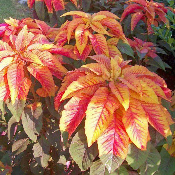 Amaranthus Illumination Annual Seeds