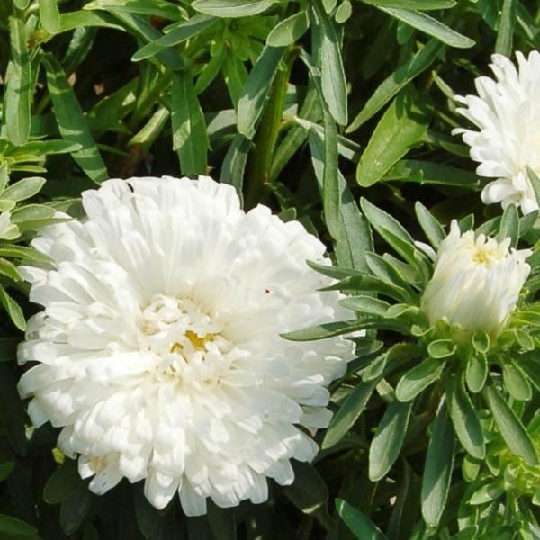 ASTER Dwarf Carpet White - Aster – Australian Seed