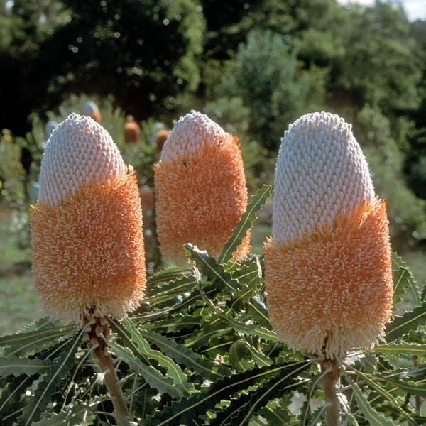 「Banksia prionotes」的圖片搜尋結果