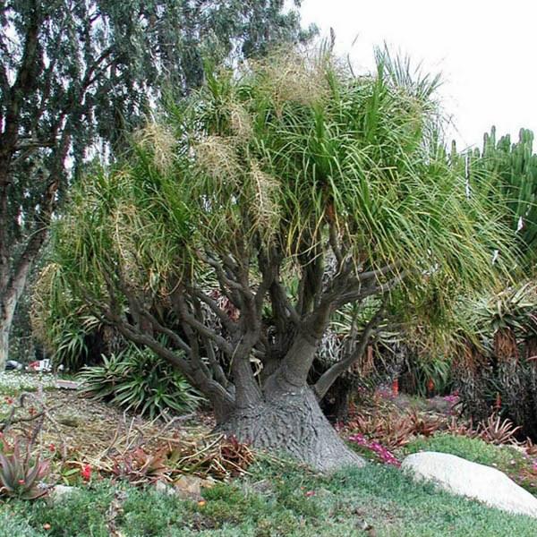 Australian seed beaucarnea recurvata - Planta pata de elefante ...