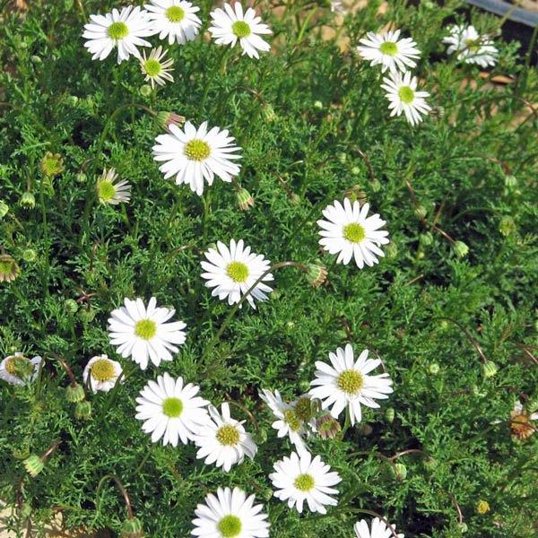 Brachyscome Iberidifolia White Brachyscome Australian Seed