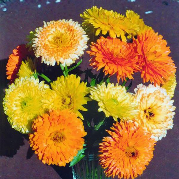 australian seed calendula pacific beauty mix english
