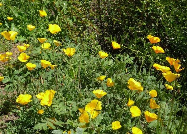 California Poppy Sundew Poppy Australian Seed