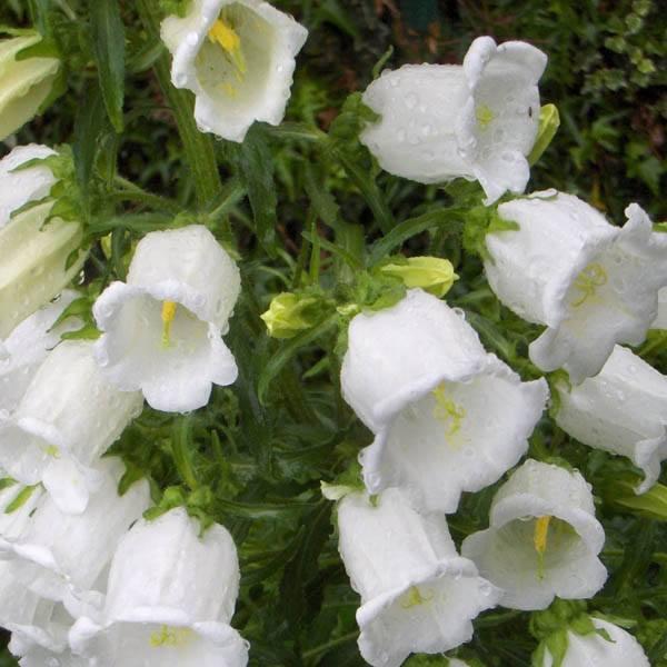 Australian seed campanula white bells campanula white bells mightylinksfo