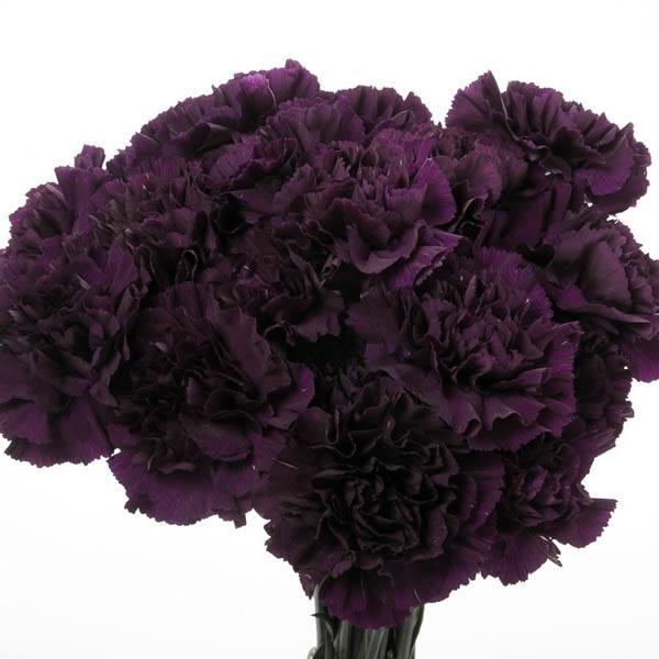Carnation King Of The Black Carnation Dianthus