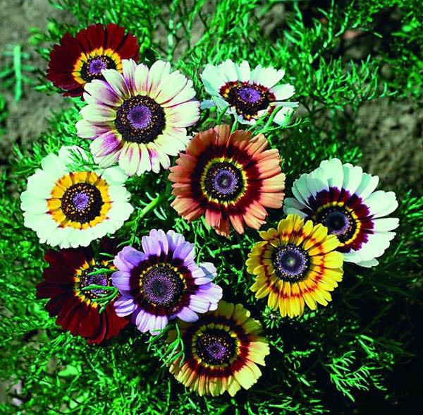 Australian Seed Chrysanthemum Rainbow Single Mix