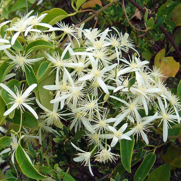 Australian Seed Clematis Pubescens