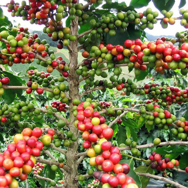 Australian seed coffea arabica for Coffea arabica