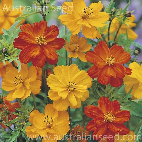 Buy Cosmos Ladybird Mix Seed Australian Seed