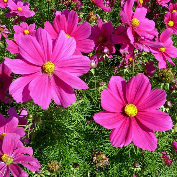 Best Time for Cosmos Blooming in Seoul 2020 - When to See