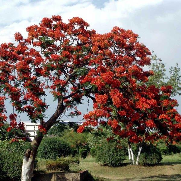 Delonix Regia Bonsai Australian Seed