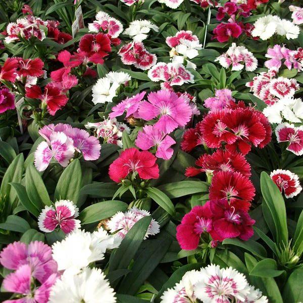 Australian Seed Dianthus Spring Beauty