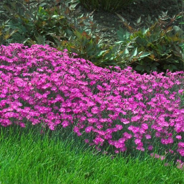 Dianthus Cheddar Pink Carnation Dianthus Australian Seed