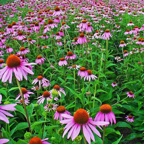 Image result for herb plant echinacea