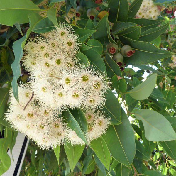 Corymbia Calophylla Syn Eucalyptus Calophylla
