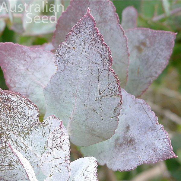 Eucalyptus Crenulata Graines Hardy Eucalyptus Argent Victorien Gum E Buxton Gum