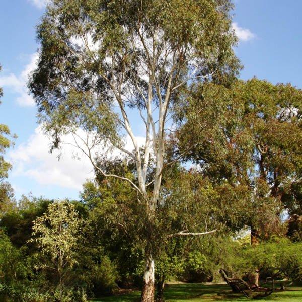 Australian Seed Eucalyptus Leucoxylon Ssp Megalocarpa