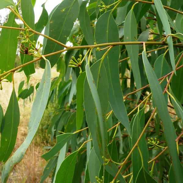 Eucalyptus Albida Eucalyptus Australian Seed