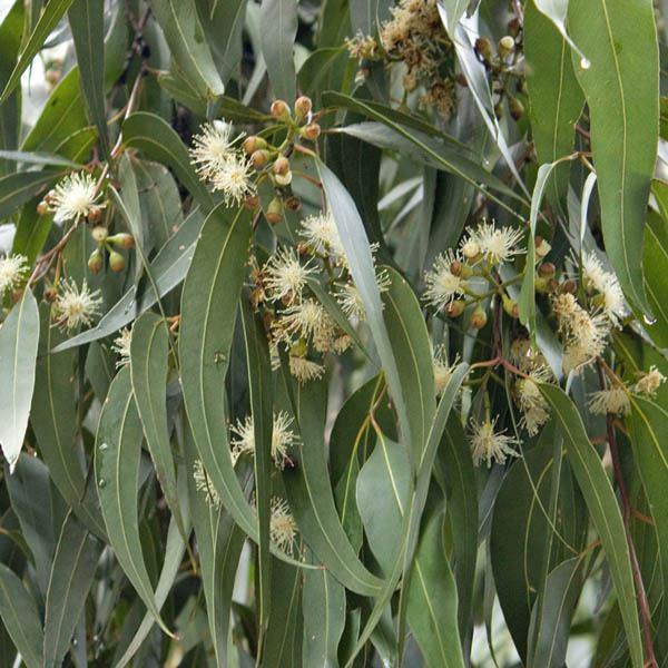 Corymbia Maculata Syn Eucalyptus Maculata Eucalyptus