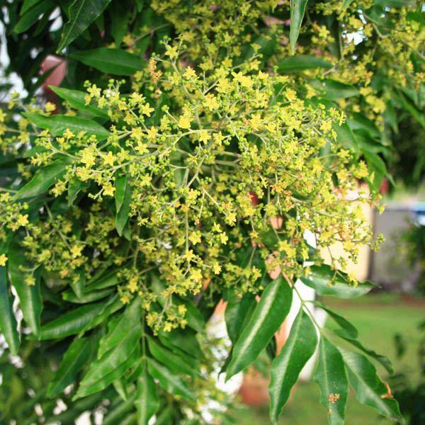 Australian seed flindersia xanthoxyla mightylinksfo