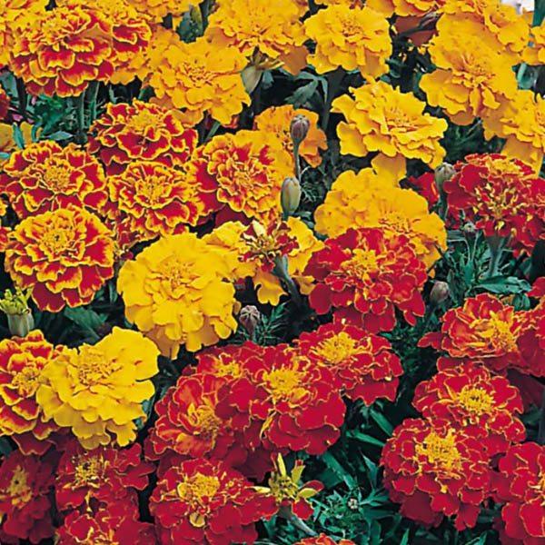 FRENCH MARIGOLD Dwarf 350 seeds BONITA MIXED Double flowers Easy