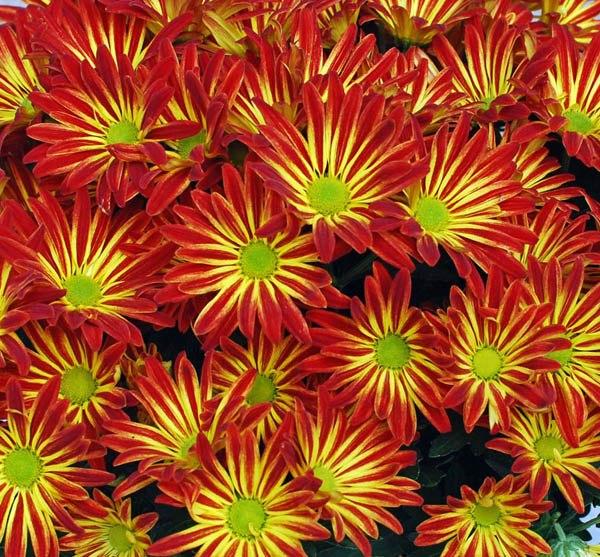 Australian Seed Gazania Sunshine Mix