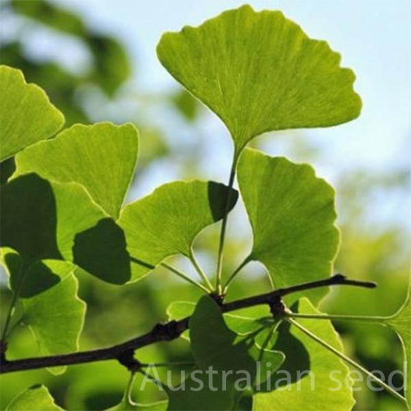 Buy Ginko Biloa Maidenhair Tree Australian Seed