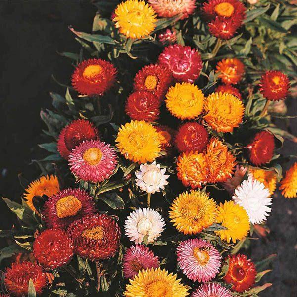 Helichrysum Monstrosum Mixed Colours Everlastings