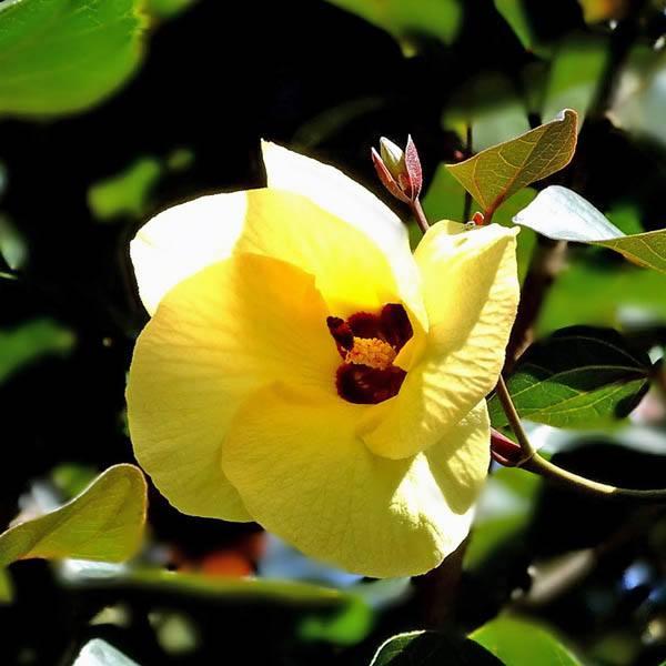 Australian Seed Hibiscus Tiliaceus