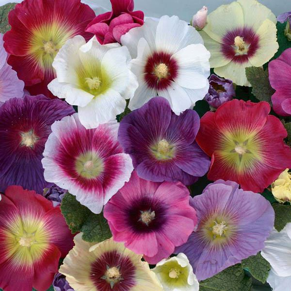 Old fashioned hollyhock seeds 18
