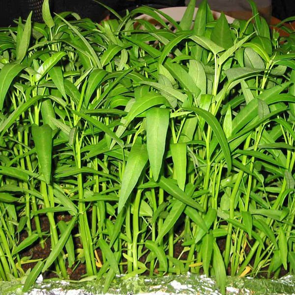 Vegetable garden ideas - Australian Seed Kangkong Water Spinach
