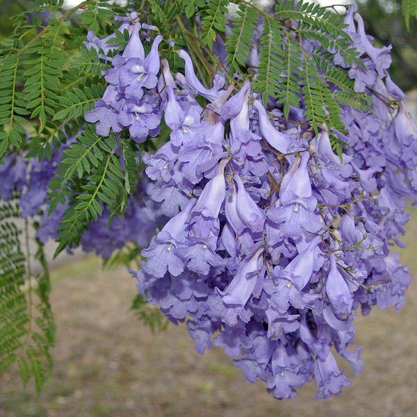 Jacaranda Mimosifolia D L Miscellaneous Australian Seed