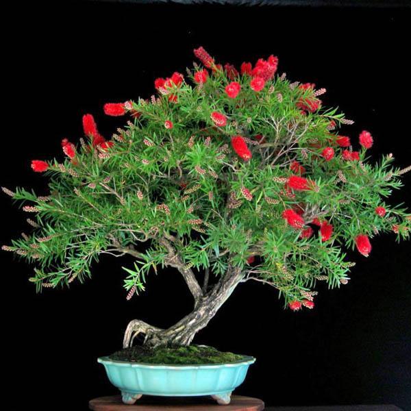 Kunzea Baxteri Bonsai Australian Seed