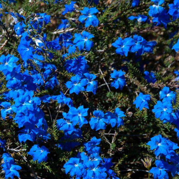 Lechenaultia Biloba E M Miscellaneous Australian Seed